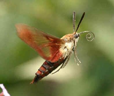 List of butterflies and moths in alaska