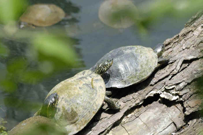 false map turtle amphibians and reptiles of texas during focus on nature tours