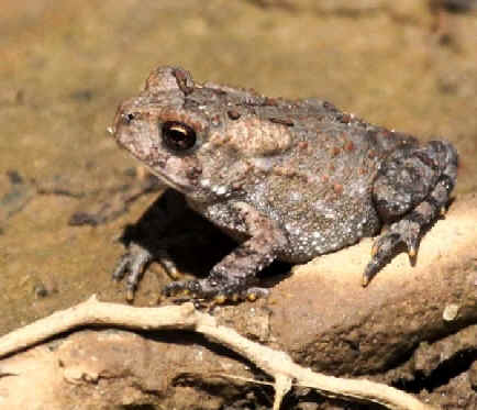 Amphibians and reptiles of eastern north america during focus on