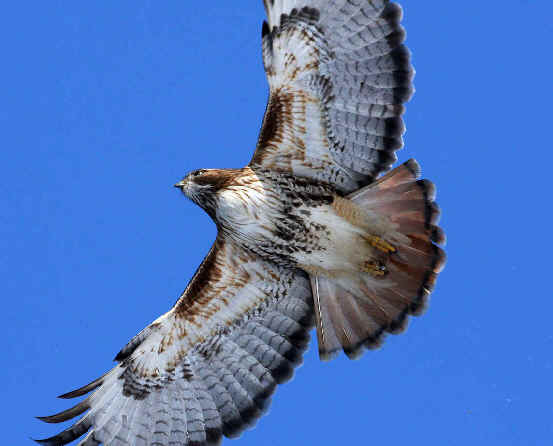 Buteo Ridgwayi in flight