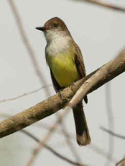 Myiarchus Tuberculifer Wallpapers Dusky capped Flycatcher
