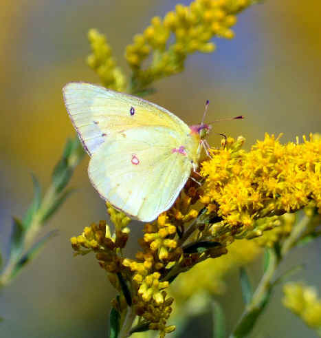 List of butterflies of eastern north america compiled by armas hill