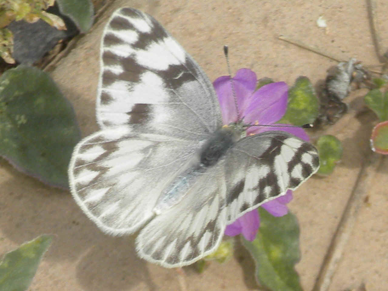 Yucca Moth Range Checkered White  ph