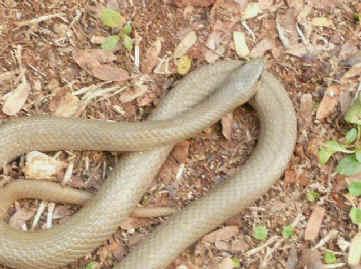 snake cr pn spilotes pullatus scorpion eater pn stenorr