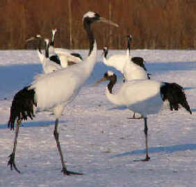 Cranes during Focus On Nature Tours in Japan and North America