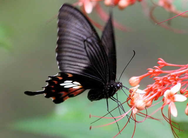This butterfly frequen...