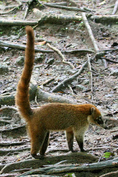 Mammals in the West Indies of the Caribbean during Focus