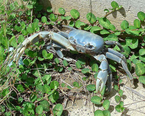 Giant Blue Land Crab a Giant Blue Land Crab in