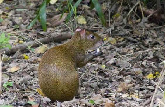Mexican Agouti | Animals Wiki | Fandom powered by Wikia