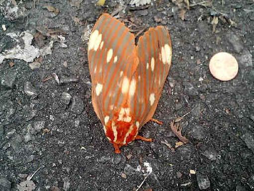 ' ' from the web at 'http://www.focusonnature.com/MothsO10.jpg'
