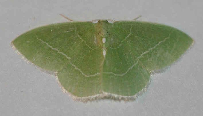 ' ' from the web at 'http://www.focusonnature.com/MothsO101.jpg'