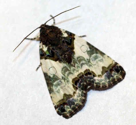 ' ' from the web at 'http://www.focusonnature.com/MothsO102.jpg'