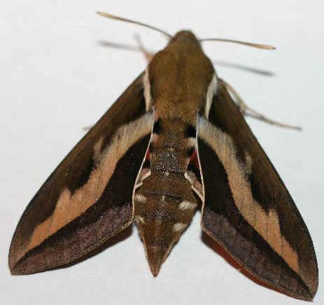 ' ' from the web at 'http://www.focusonnature.com/MothsO103.jpg'