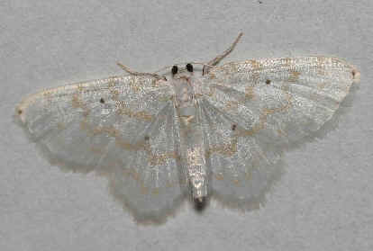 ' ' from the web at 'http://www.focusonnature.com/MothsO105.jpg'