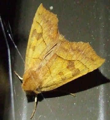 ' ' from the web at 'http://www.focusonnature.com/MothsO119.jpg'