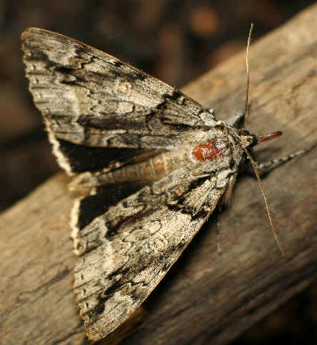 ' ' from the web at 'http://www.focusonnature.com/MothsO121.jpg'