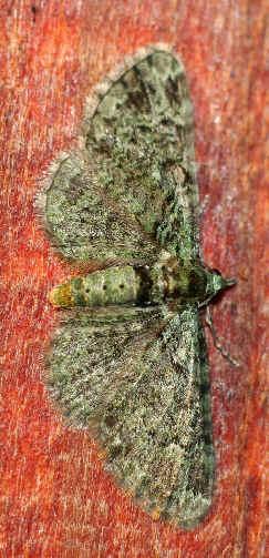' ' from the web at 'http://www.focusonnature.com/MothsO124.jpg'
