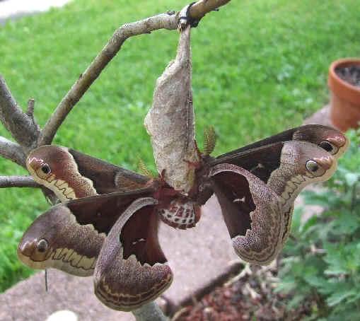 ' ' from the web at 'http://www.focusonnature.com/MothsO127.jpg'