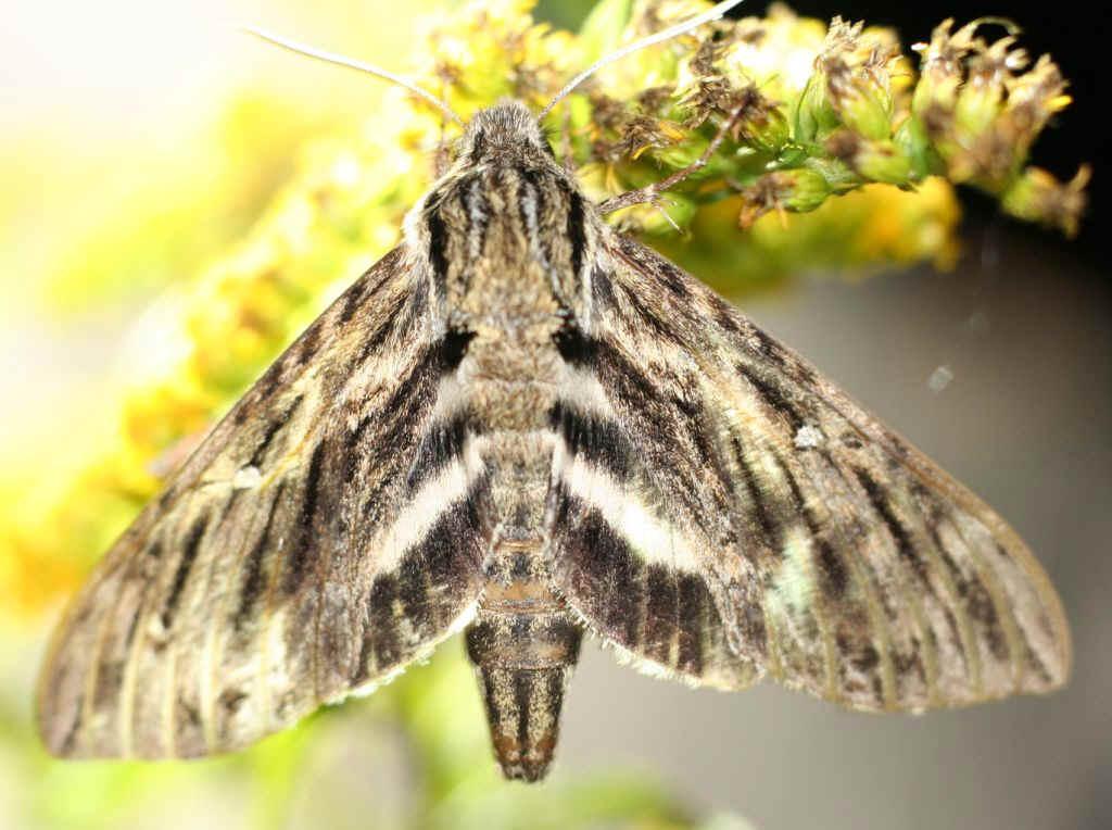 ' ' from the web at 'http://www.focusonnature.com/MothsO13.jpg'