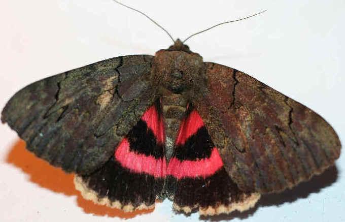 ' ' from the web at 'http://www.focusonnature.com/MothsO132.jpg'