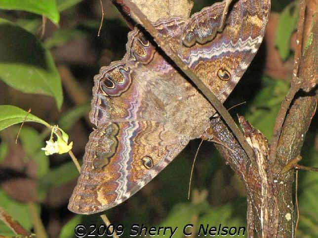 ' ' from the web at 'http://www.focusonnature.com/MothsO134.jpg'