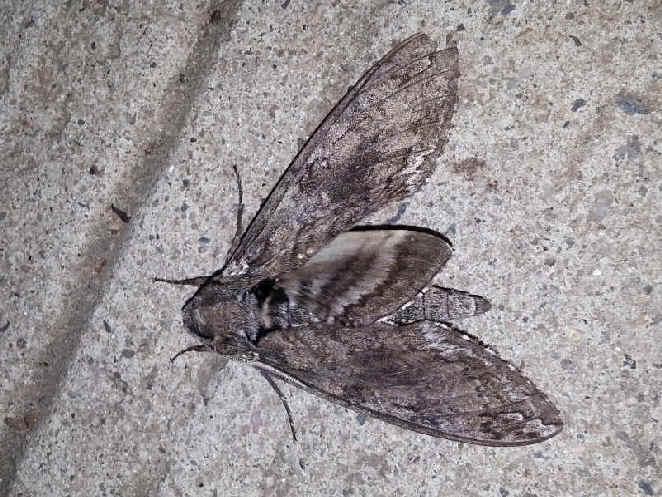 ' ' from the web at 'http://www.focusonnature.com/MothsO135.jpg'