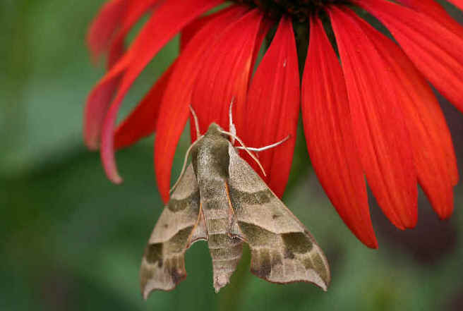 ' ' from the web at 'http://www.focusonnature.com/MothsO138.jpg'