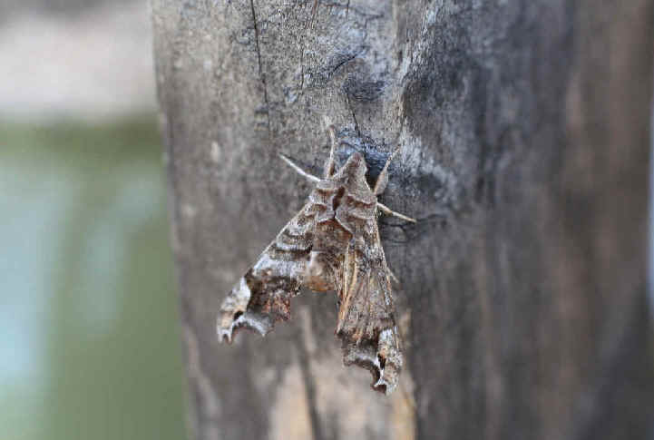 ' ' from the web at 'http://www.focusonnature.com/MothsO152.jpg'