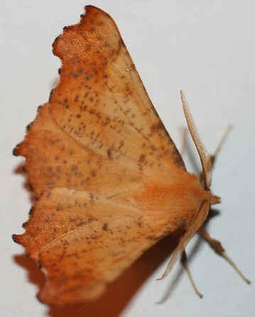 ' ' from the web at 'http://www.focusonnature.com/MothsO158.jpg'