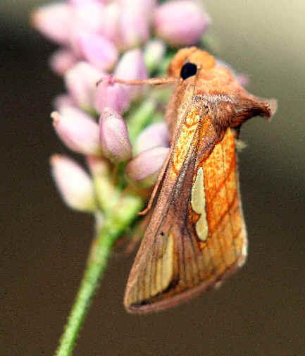 ' ' from the web at 'http://www.focusonnature.com/MothsO161.jpg'