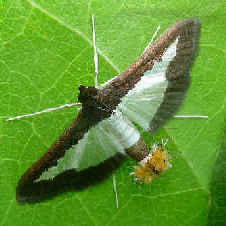 ' ' from the web at 'http://www.focusonnature.com/MothsO163.jpg'