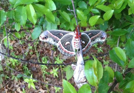 ' ' from the web at 'http://www.focusonnature.com/MothsO164.jpg'