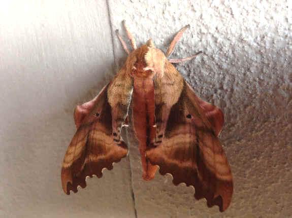 ' ' from the web at 'http://www.focusonnature.com/MothsO165.jpg'
