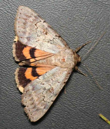 ' ' from the web at 'http://www.focusonnature.com/MothsO17.jpg'