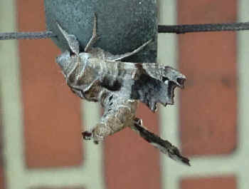 ' ' from the web at 'http://www.focusonnature.com/MothsO178.jpg'
