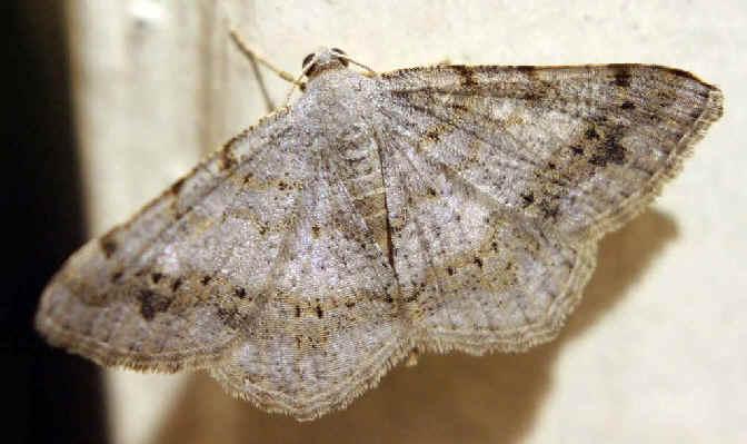 ' ' from the web at 'http://www.focusonnature.com/MothsO18.jpg'