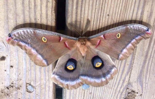 ' ' from the web at 'http://www.focusonnature.com/MothsO183.jpg'