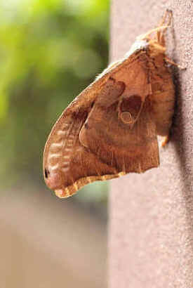 ' ' from the web at 'http://www.focusonnature.com/MothsO185.jpg'
