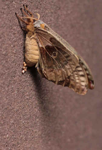 ' ' from the web at 'http://www.focusonnature.com/MothsO186.jpg'