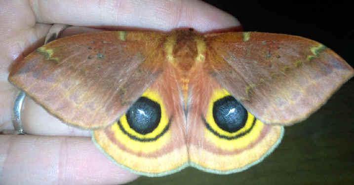 ' ' from the web at 'http://www.focusonnature.com/MothsO187.jpg'
