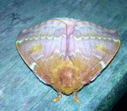 ' ' from the web at 'http://www.focusonnature.com/MothsO188.jpg'