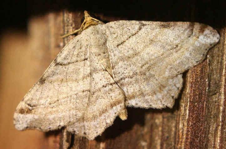 ' ' from the web at 'http://www.focusonnature.com/MothsO19.jpg'