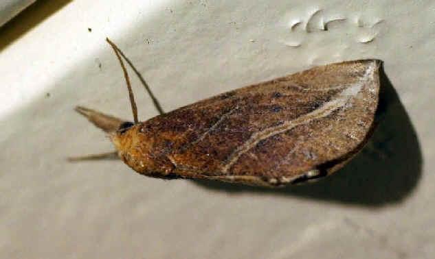 ' ' from the web at 'http://www.focusonnature.com/MothsO20.jpg'