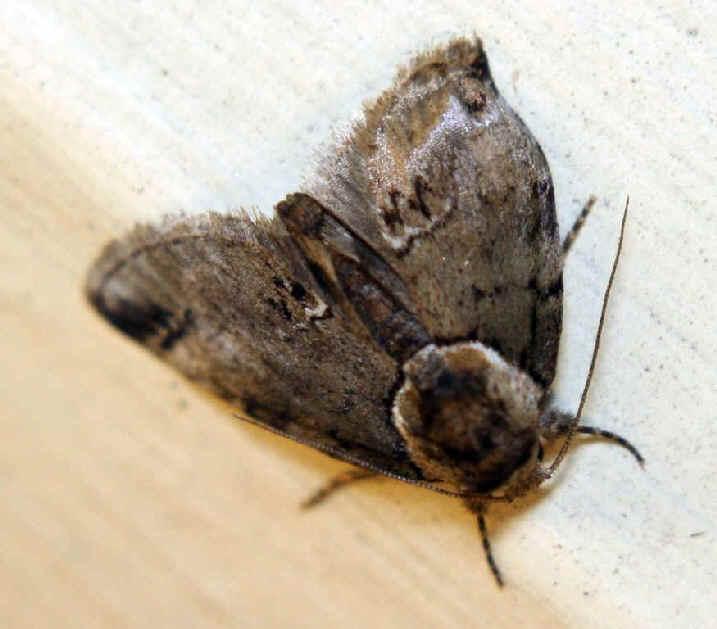 ' ' from the web at 'http://www.focusonnature.com/MothsO25.jpg'