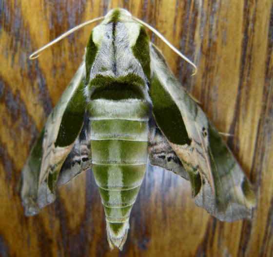 ' ' from the web at 'http://www.focusonnature.com/MothsO30.jpg'