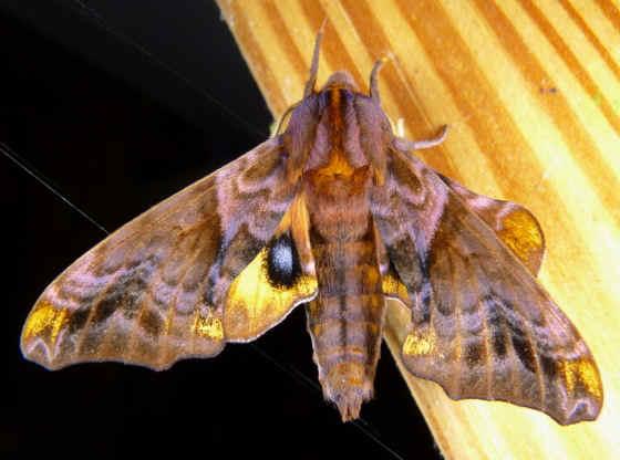 ' ' from the web at 'http://www.focusonnature.com/MothsO33.jpg'