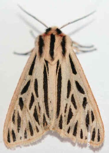 ' ' from the web at 'http://www.focusonnature.com/MothsO34.jpg'