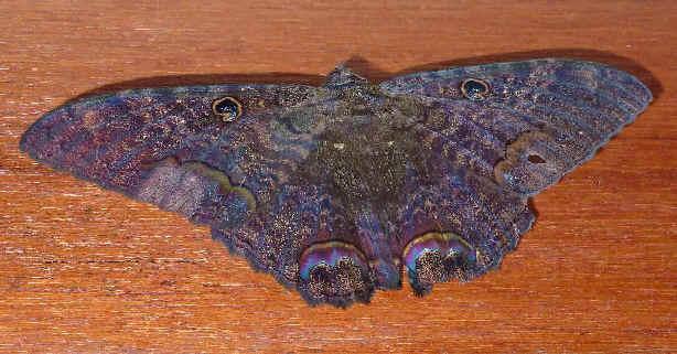 ' ' from the web at 'http://www.focusonnature.com/MothsO4.jpg'