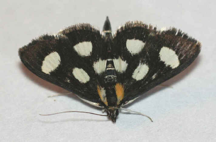 ' ' from the web at 'http://www.focusonnature.com/MothsO40.jpg'