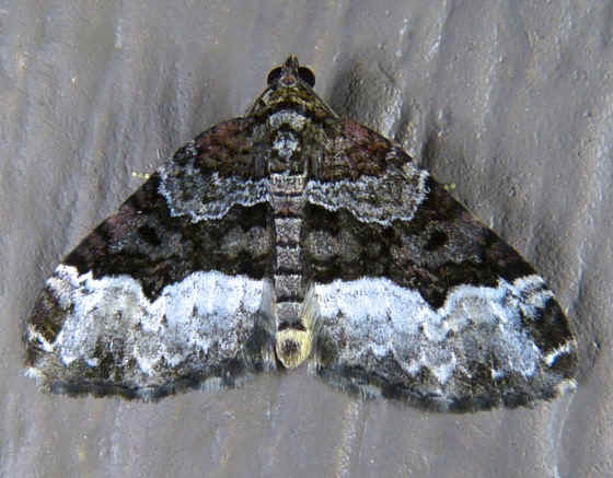 ' ' from the web at 'http://www.focusonnature.com/MothsO41.jpg'